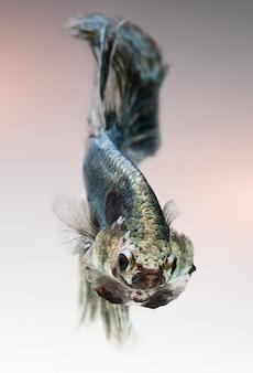 Серебристо-золотисто-медный цвет бетта рыбы.