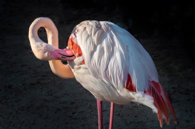 フラミンゴの鳥の清掃翼。