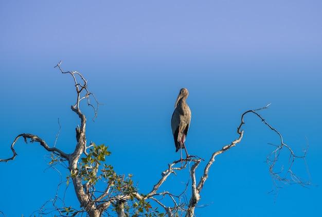 枝の上にアジアのオオハシコウ鳥立っています。