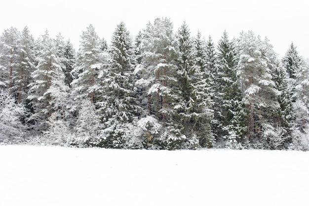 雪に覆われた松の木の森