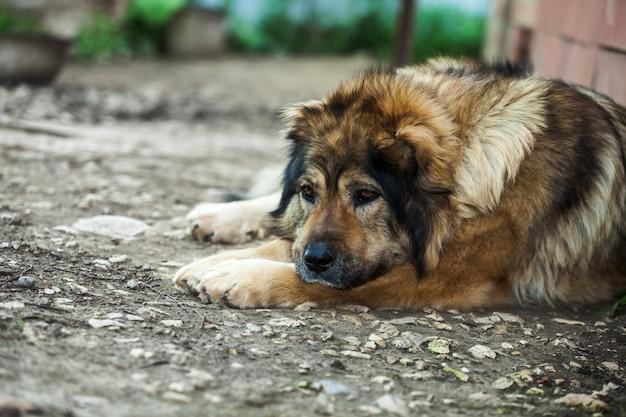 Грустная кавказская овчарка лежит на земле возле дома