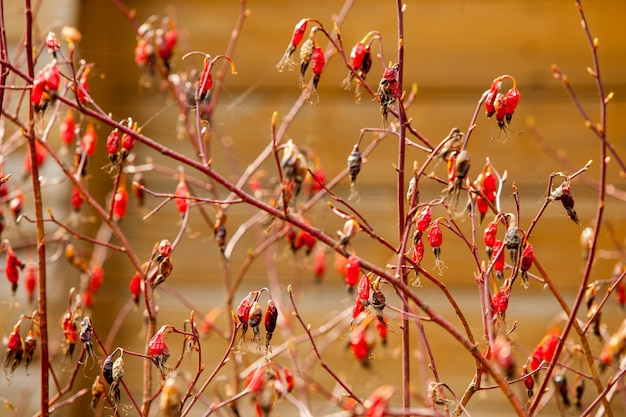 枝にローズヒップフルーツ
