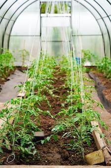 Томатные кусты в теплице, уход и поддержка помидоров, защита от атмосферных воздействий