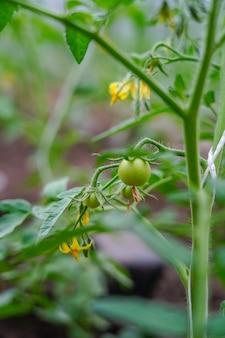庭の若い緑のトマト