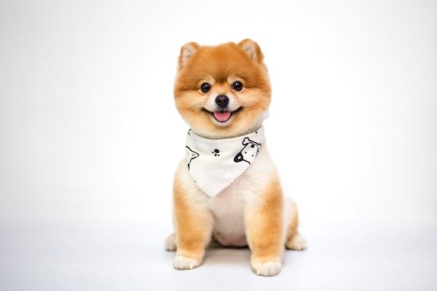 Поморская собака сидит на белом