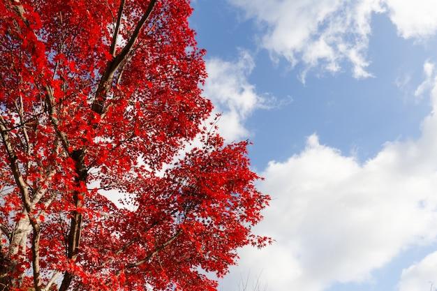 Красный листопад в осени, дерево в японии с предпосылкой голубого неба.