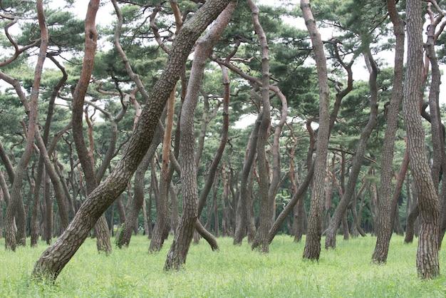 松林、牧草地、松の木