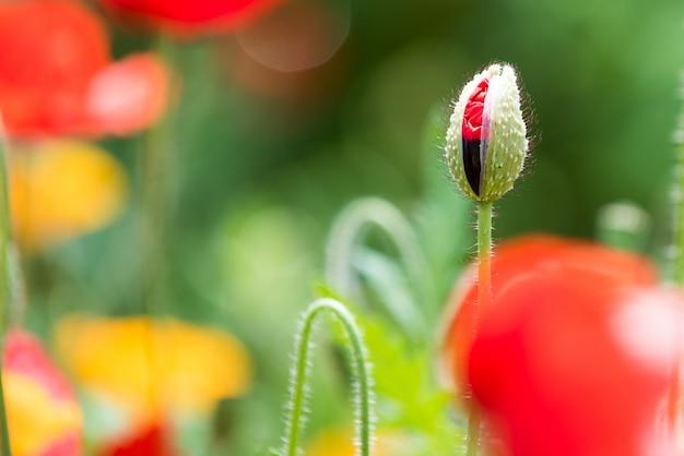 魅力的な庭のポピーの芽