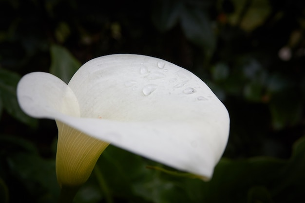 暗い背景に水とアルムリリー白と黄色の花が値下がりしました