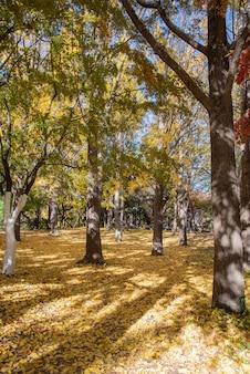 Осенняя улица с желтыми кленовыми листьями. сеульский олимпийский парк в южной корее.