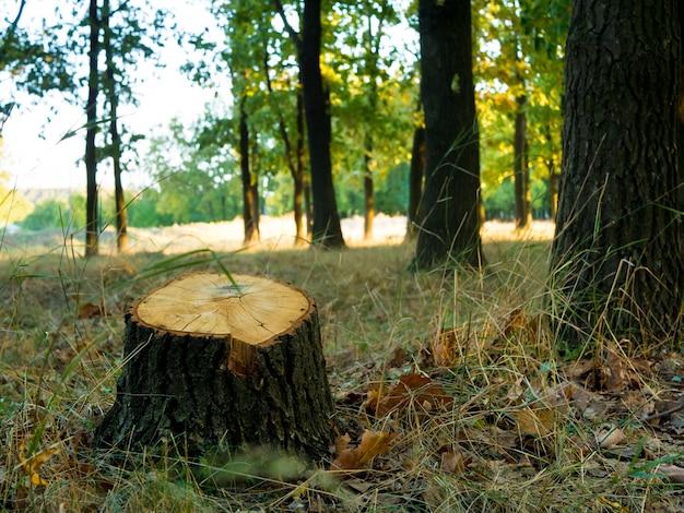秋の森で木を切った後の木の切り株。