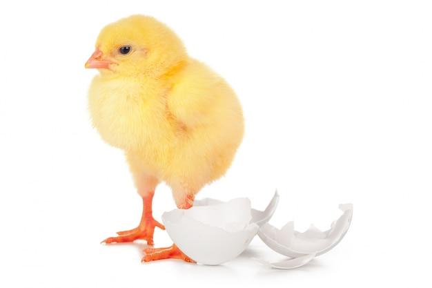 Красивый маленький цыпленок и яичная скорлупа