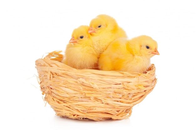 Маленький цыпленок и яйца в гнезде, изолированные