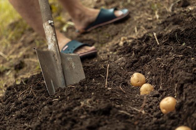 ジャガイモ畑野菜の土汚れ表面の塊茎