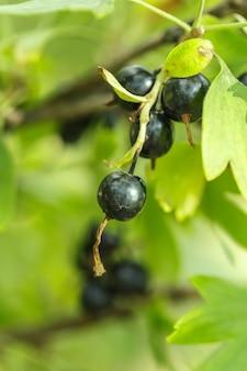 ブッシュのクローズアップに黒すぐりの果実