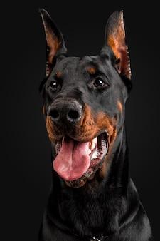 ドーベルマン犬の肖像画