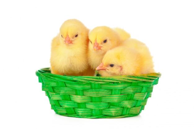 小さなひよこと巣の卵、白で隔離