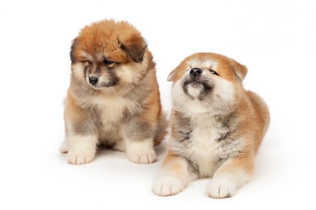 白の秋田犬子犬犬