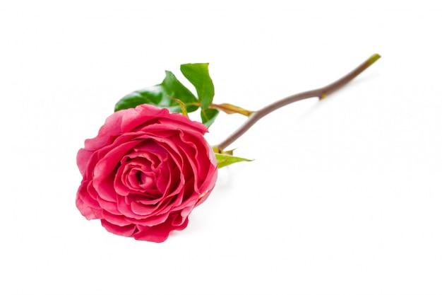 白で隔離される緑の葉と赤いバラ