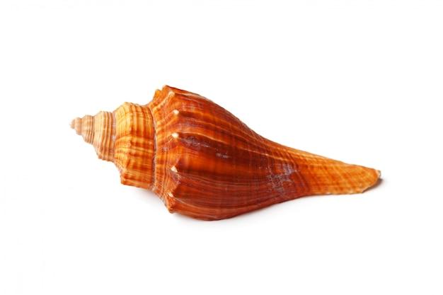 Морская раковина на белом