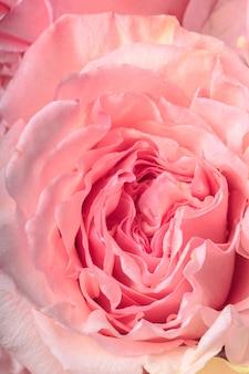 繊細なピンクのバラをクローズアップ