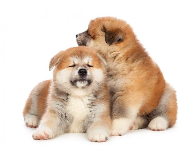 秋田犬子犬