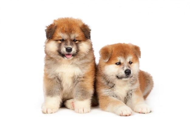 白い背景の上の秋田犬子犬犬