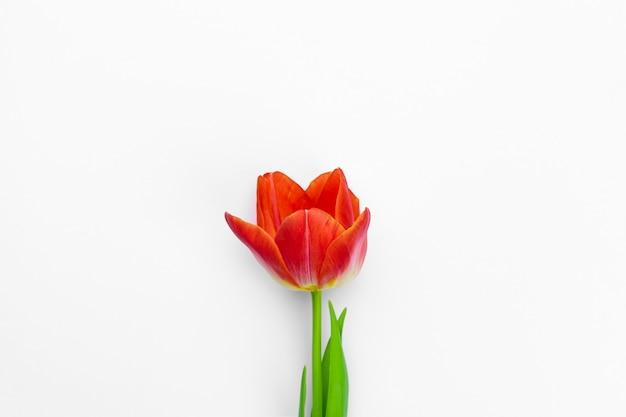 Изолированные свежие тюльпаны
