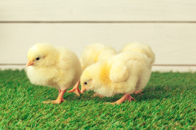 Маленькая курица на траве