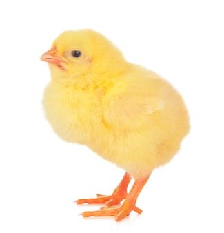 白い背景の上の小さな黄色の鶏