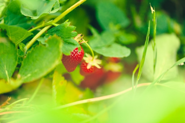 Длинные грядки клубничного поля со свежей красной клубникой