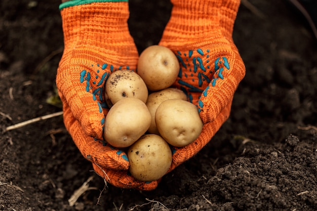 土壌の背景に手でジャガイモ