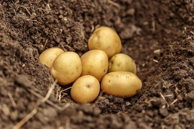 Картофельные поля овощей с клубнями в почве грязи поверхности фона