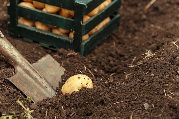 Корзина свежего вкусного нового картофеля