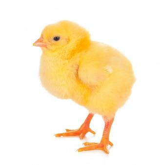 白で隔離かわいい鶏
