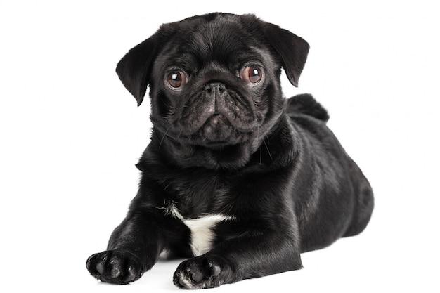 分離されたパグ犬