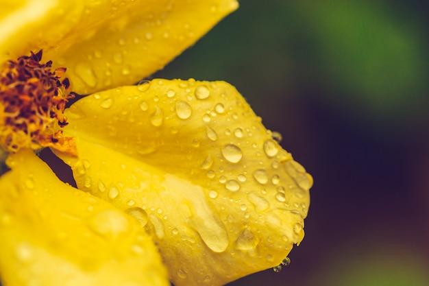 雨滴と雌しべ黄色い花の花をクローズアップ