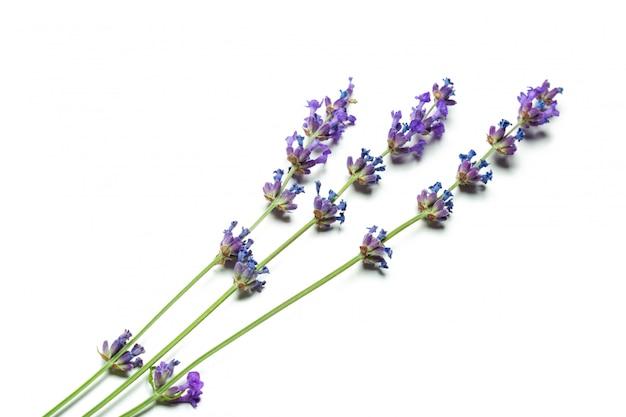 白のラベンダーの花