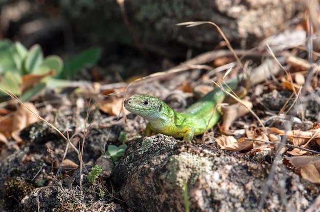 太陽を浴びて小さな緑のトカゲ。