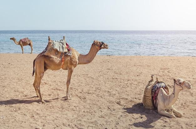 Верблюд лежит на песке.