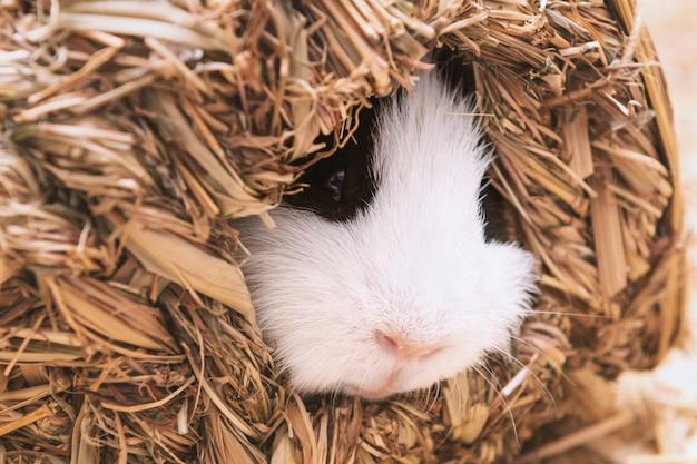 干し草の家で小さなかわいいモルモットの睡眠。