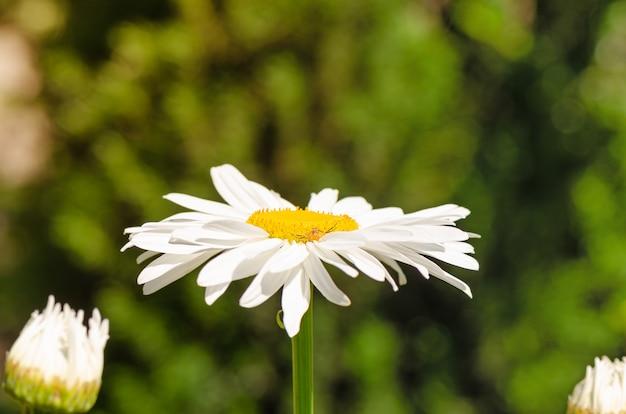 Большой цветок ромашки расцветает в саду.