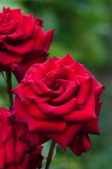 Красные розы цветут в саду.
