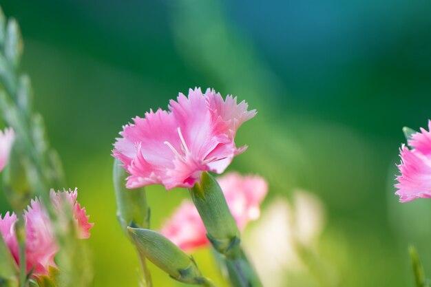 Красивый розовый цветок расцветает в саду