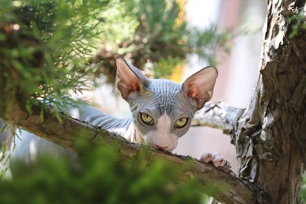Портрет кошки сфинкса без волос в саду