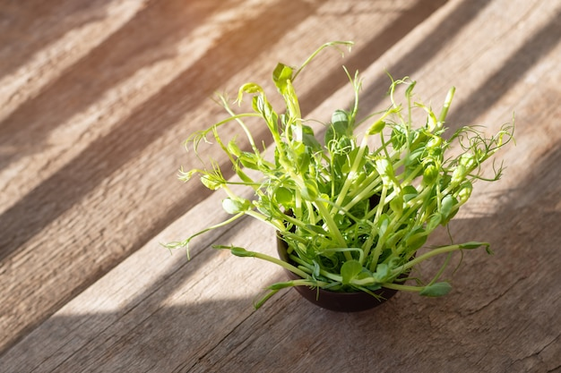 Свежие органические ростки гороха, подготовка к еде