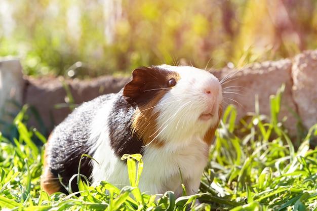 Симпатичные морская свинка на зеленой траве в саду