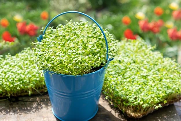 発芽ルッコラのクローズアップは、濡れたリネンマットで育ちます。