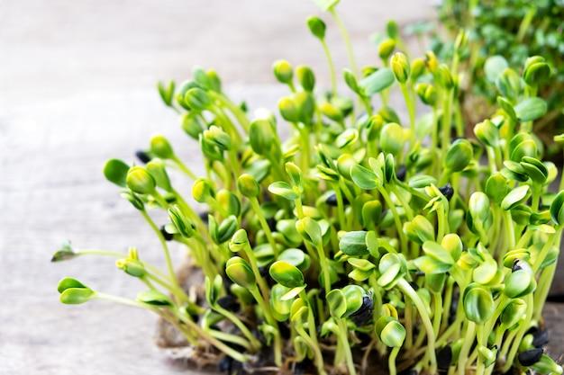 マイクログリーン。発芽ヒマワリの種、クローズアップ。