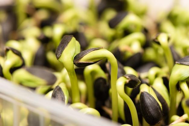 Микро зелень. проросшие семена подсолнечника, крупным планом.
